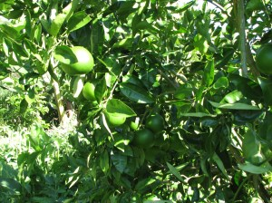 Grapefruit tree in the permaculture food forest