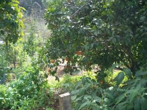 Marmalade tree, mandarine tree in our Permaculture garden