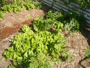 This lettuce decided to come up all by itself (self sown)