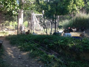 Chickens are preparing the patch of land where their own food will be grown in the future. The Permaculture Research Institute Sunshine Coast currently has 7 different chicken areas.
