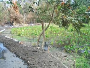 Water taro in Tasmate