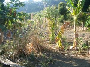 Start of a permaculture garden in Bareo, Vanuatu
