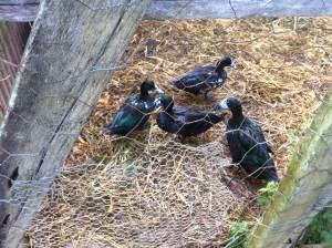 Ducks with milk moe at Maungaraeeda, Permaculture Research Institute Sunshine Coast