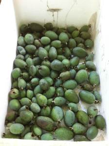 Feijoa harvest from our permaculture garden