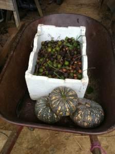 Macadamias and pumpkin harvest, permaculture farm Sunshine Coast
