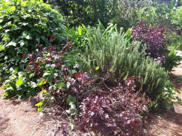 The rosemary bush was liberated from the suffocating hold of the Madagascar bean vine