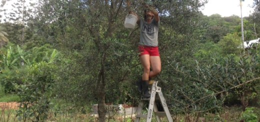Olive picking at Maungaraeeda, Permaculture Research Institute Sunshine Coast