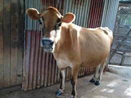Anna the milking cow on our Australian permaculture farm