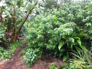 Permaculture garden at Maungaraeeda, Noosa Hinterland, Sunshine Coast