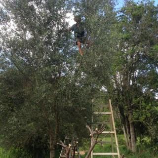 Tom Kendall picking olives at Maungareeda.