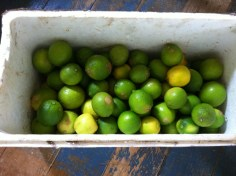 Lime harvest at Tom and Zaia Kendall's permaculture farm Maungaraeeda