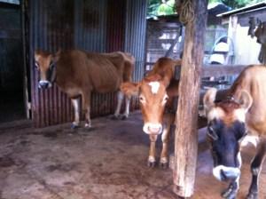 The dairy cows in the cattle yard at Maungaraeeda, PRI Sunshine Coast