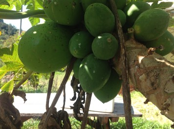 Paw paw or papaya ripening on the tree in our permaculture garden diy food and health