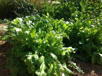 More self sown lettuce in the permaculture garden, diy food and health