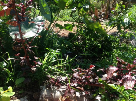 Hibiscus and taro in the permaculture garden at Maungaraeeda, diy food and health