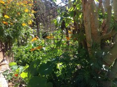 Flowers attract bees to the vegie garden at Maungaraeeda, permaculture and diy food and health