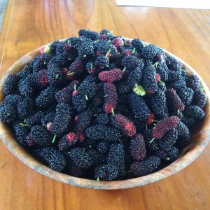 Mulberry season during the PDC course Permaculture Design Certificate course run by PRI Sunshine Coast