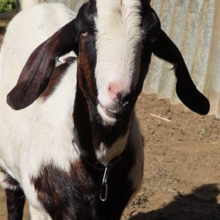 One of our goats: Patch