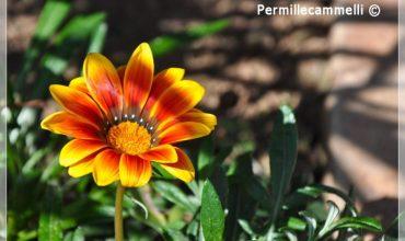 fiore arancione mediterraneo libia