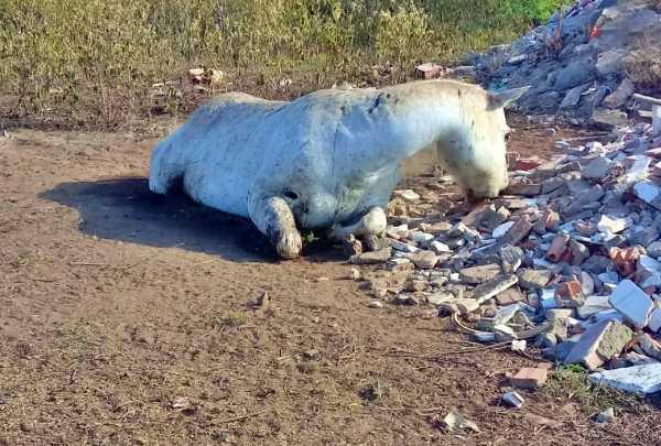 Cavalo abandonado morre de fome na zona rural de Gravatá