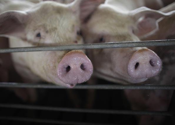 China descobre em porcos novo vírus com potencial se tornar pandemia em todo mundo