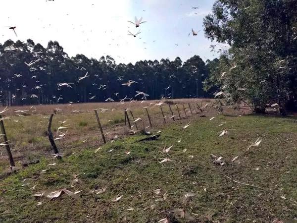 Mais uma nuvem de gafanhotos é identificada na Argentina