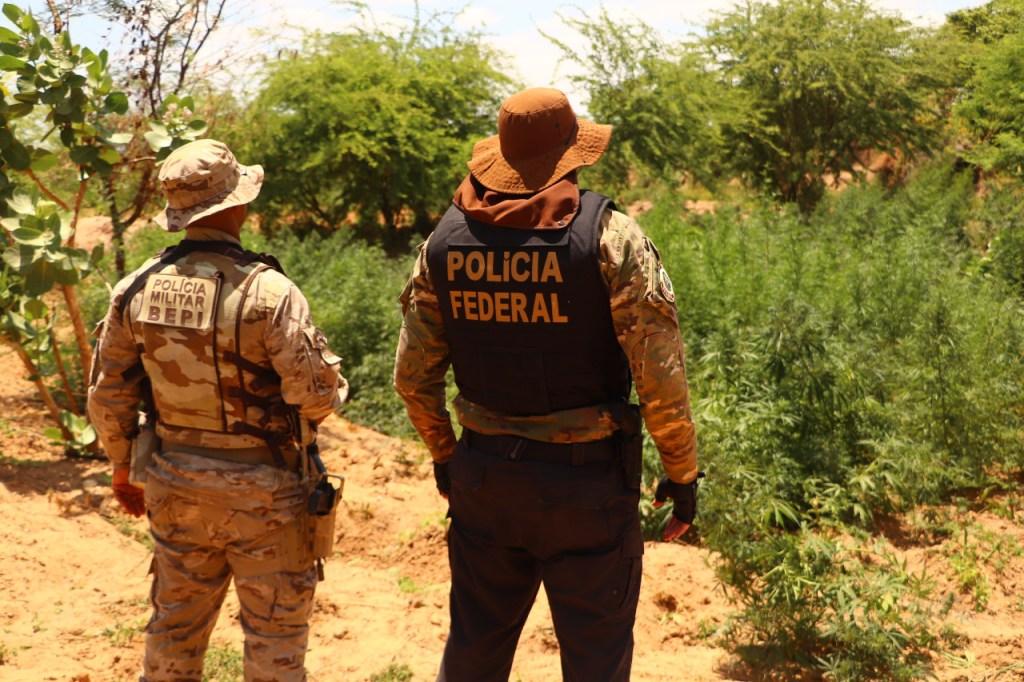 Polícia erradica mais de 367 mil pés de maconha no sertão de Pernambuco