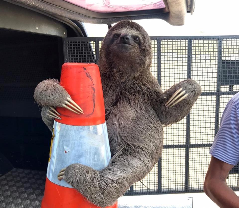 Bicho-preguiça é resgatado às margens da BR 101 em Igarassu