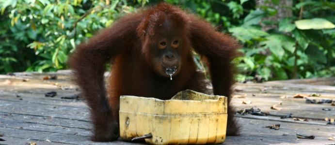 orangutany_head
