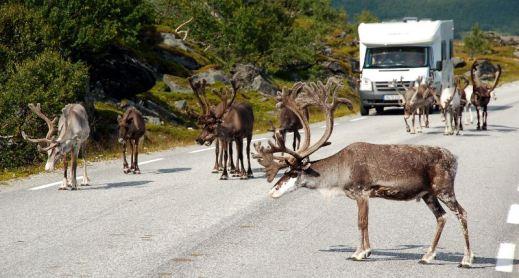 Zaraz za Rovaniemi pojawiają się pierwsze renifery, które pasąc się przy drodze stanowią duże zagrożenie dla kierowców. (Fot. Andrzej Juda)