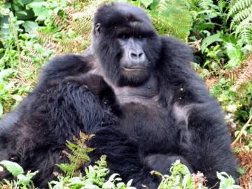 Rwanda - górskie goryle