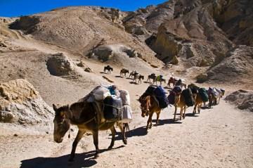 W górach Nepalu najlepszym środkiem transportu są muły