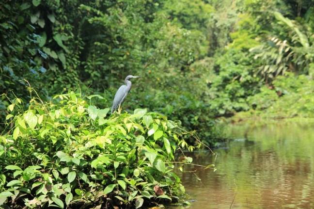 Ptak z Tortugero, Kostaryka