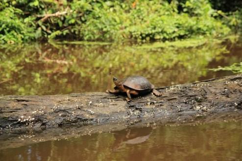 Żółw z Tortugero, Kostaryka