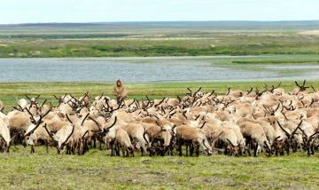 Stado reniferów na Uralu