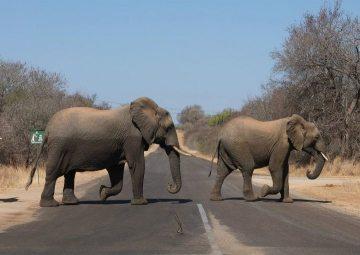 Afrykańskie słonie na bezdrożach Zimbabwe