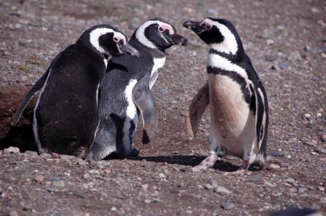 Pingwiny z Chile