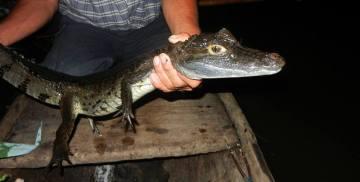Polowanie na krokodyle w Amazonii