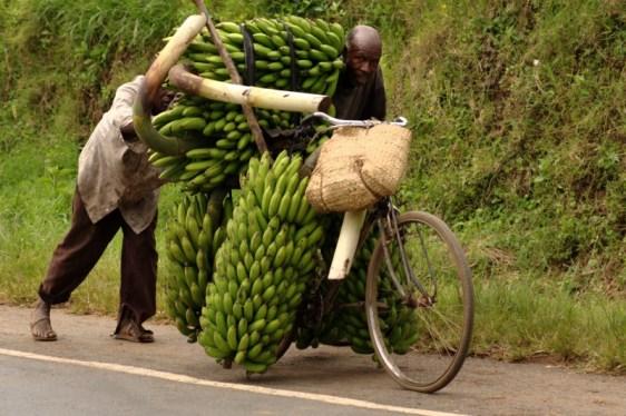Zielone banany w Afryce.