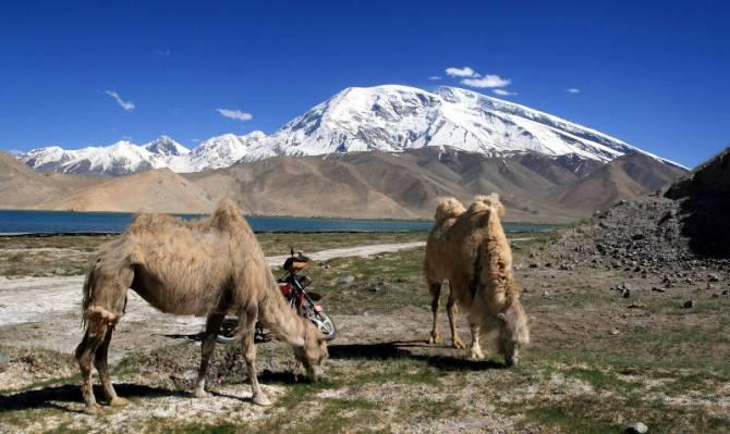 Chińskie wielbłądy