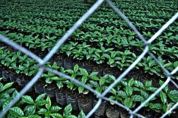 Plantacja herbaty w Gwatemali