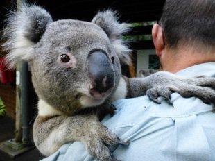 Australijski miś koala