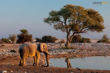 Słoń - park zwierząt w Namibii