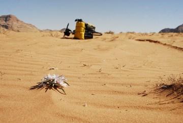 Przyroda Jordanii - krokusy rosnące na pustyni
