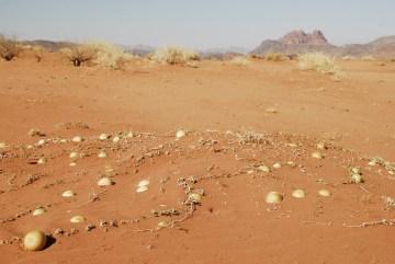 Pustynia w Jordani a na niej arbuzy