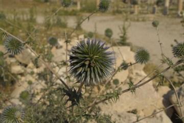 Kwiaty rosnące na pustyni w Jordanii