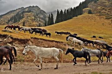 Zdjęcia kirgiskich koni