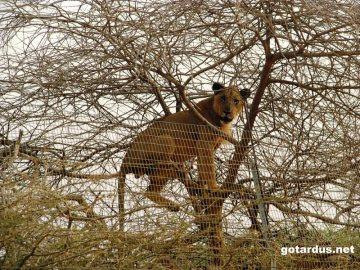 Afrykański lew - zdjęcia z podrózy do Dżibuti