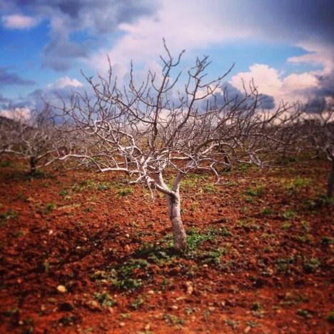 Drzewo pistacjowe w Turcji