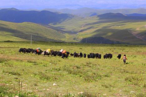Stada jaków w Tybecie